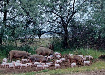 Ministerul Agriculturii și Dezvoltării Rurale renunță la măsurile propuse pentru creșterea porcilor